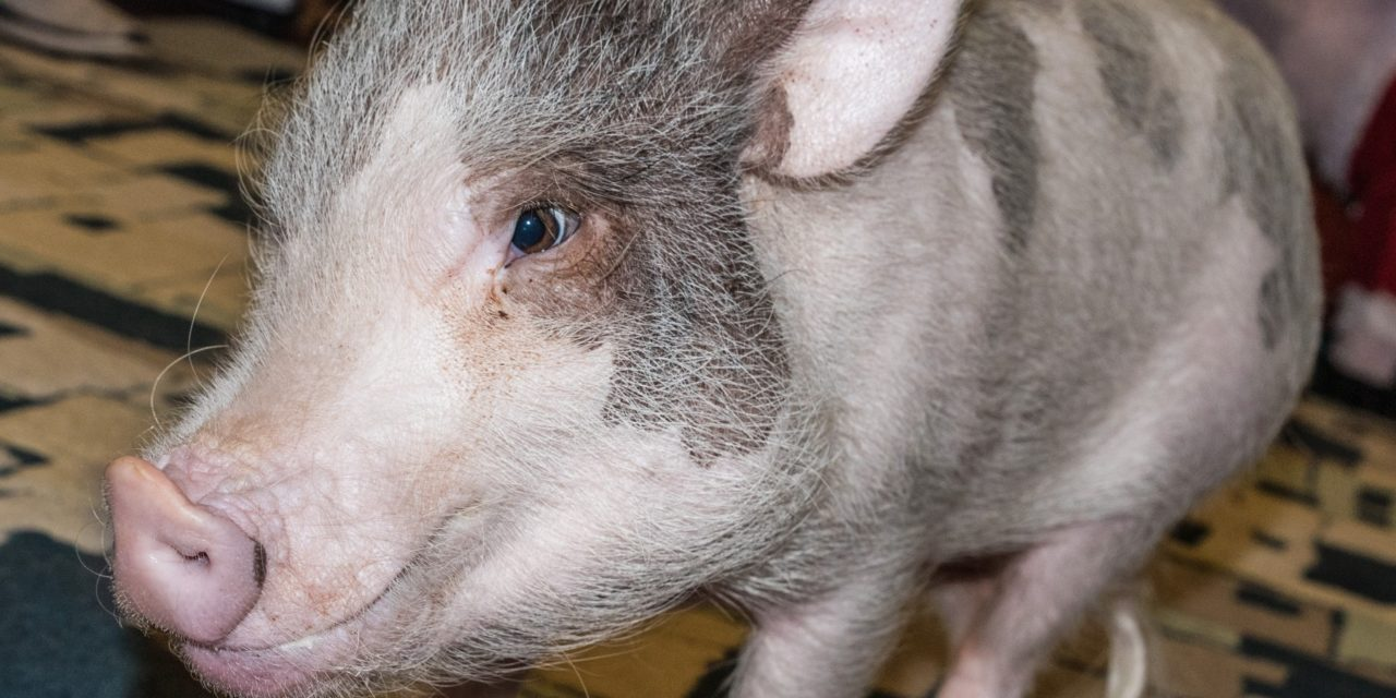 Sparky & Leroy: Local families have pet pigs for support and companionship