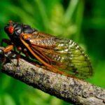 The Great Awakening of Cicadas